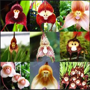 Mignon-Singe-Visage-100-Pcs-Graines-Orchidee-Bonsai-Plantes-Fleurs-Jardin-2020-Neuf