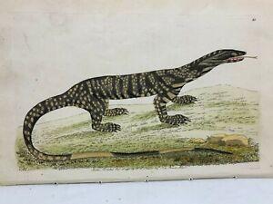Monitor Lizard - 1783 RARE SHAW & NODDER Hand Colored Copper Engraving