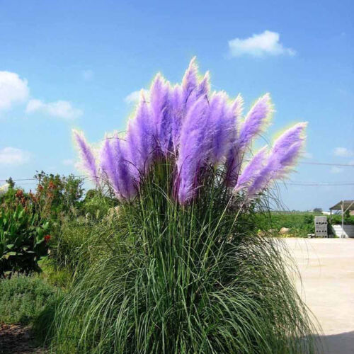 500Pc//Tasche Rare Schöne lila Pampas Gras Blumen Pflanzen Samen Garten Yard