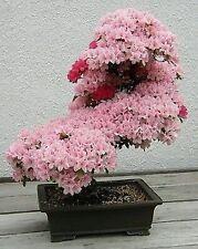 Bonsai seeds -5 seeds Prunus Serrulata Japanese Sakura Flowering Cherry
