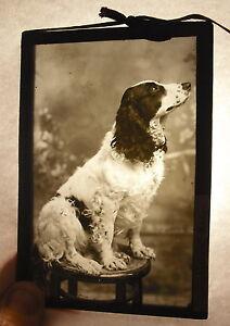 Placca-Foto-English-Cocker-Spaniel-Inglese-034-Katy-034-c1920-13cm-x-9cm-Fotografia