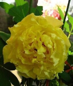 Golden yellow flower chinas peony seeds paeonia suffruticosa tree image is loading golden yellow flower china 039 s peony seeds mightylinksfo