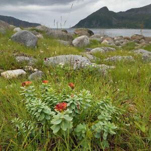 The-Icelandic-wild-harvested-Rhodiola-Rosea-Golden-Arctic-Root-organic-root