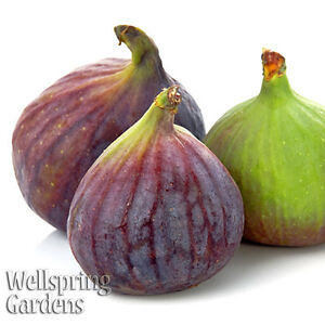 Olympian-Fig-Tree-Ficus-Carica-Live-Plant-Very-Sweet-Cold-Hardy