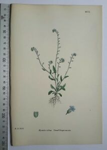 English-Botany-J-Sowerby-handcoloured-Lithograph-Plate-1109-3-Edit-1880