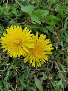 De-Pissenlit-Taraxacum-Officinale-Comestible-600-Graines-Seeds