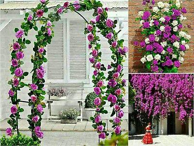 10 PURPLE CLIMBING ROSE Seeds - Garden Flower Gift Wedding Beautiful Entrance