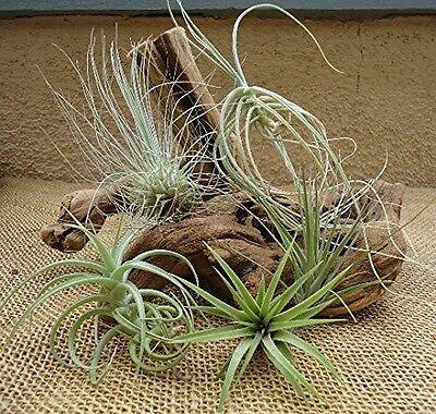 5 Pack Assorted Tillandsia Air Plants Home Garden Indoor Outdoor Best Gift Yard