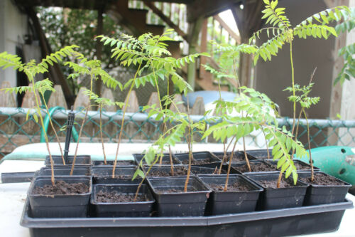 ORGANIC CURRY PLANTS THE REAL FLOUVERED ONES NOT THE FAKE VARIETY PLANT
