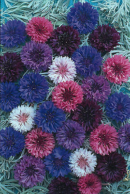 FLOWER CORNFLOWER POLKA DOT MIX 2000 FINEST SEEDS  ANNUAL  CORN FLOWER