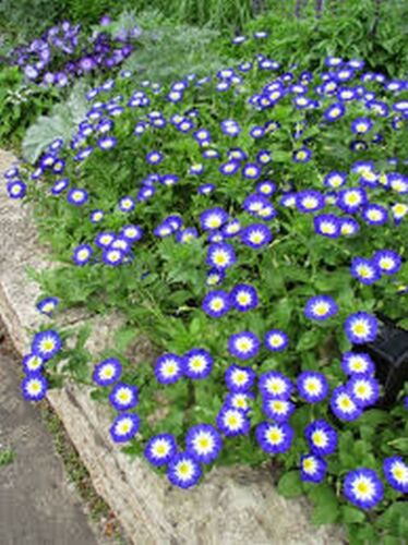 Convolvulus Tricolor Minor Blue Morning Glory Ensign 50 seeds
