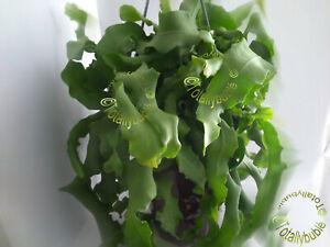 Bouture-cutting-Cactus-a-Feuilles-Epiphyllum-guatemalense