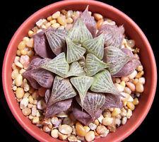 HAWORTHIA MIRABILIS BADIA exotic rare succulent bonsai cactus aloe seed 10 seeds