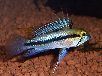 Pair Apistogramma Trifasciata  *Male + Female* 2-3cm