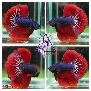 [83_A3]Live Betta Fish High Quality Male Fancy Over Halfmoon 📸Video Included📸