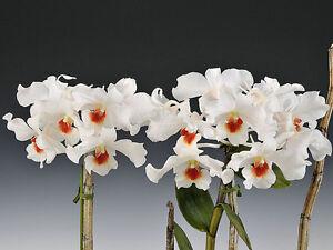 Rare-orchid-species-keiki-young-plant-Dendrobium-igneoniveum