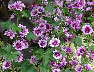 10+ FRESH Malva Sylvestris / Common Mallow / L. Mauritiana cultivar Seeds