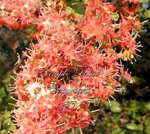 Seeds Tattoo Plant Lawsonia Inermis Stunning Aromatic Blooms