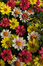 Flower Seed:Zahara Raspberry Lemonade Zinnia 20 Seeds Fresh Seed  FREE Shipping