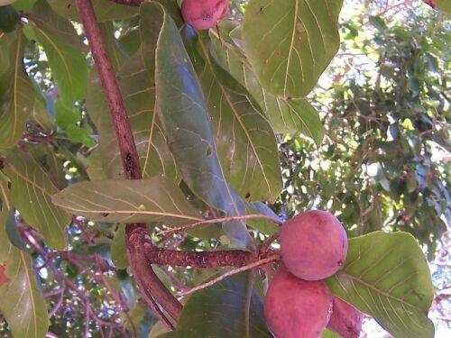 Terminalia Catappa Viable Seeds Indian Almond Tree Garden Shade Tree 3~10 Seeds