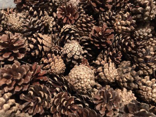 50 Scots Pine cones craft weddings wreaths florist *5 cms approx