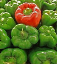 California Wonder green bell pepper 20 seeds *HEIRLOOM* Seeds of Life