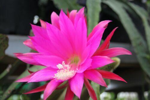 "EPIPHYLLUM foglio CACTUS epicactus /""bellezza da giardino/"" steckling"