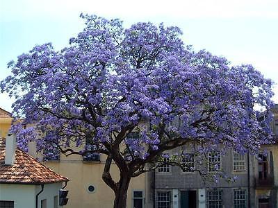 Blauglockenbaum Paulownia tomentosa 80-100 cm