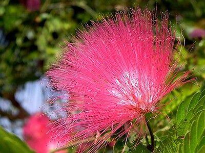 Albizzia julibrissim rosea     25 seeds