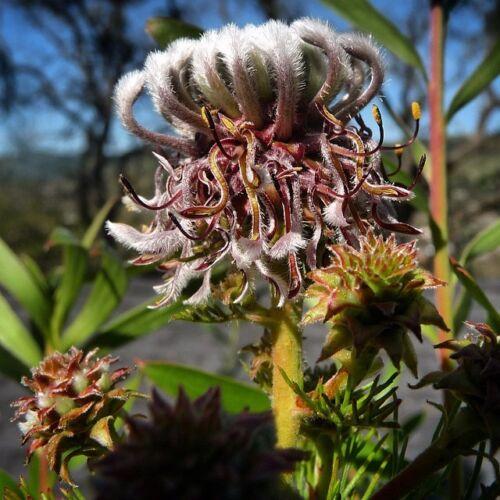 Serruria Pedunculata ~ Ventilateur Feuille spiderhead ~ Amazing poilu très rare ~ 3 Graines ~
