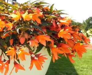 Begonia-Seeds-15-Pelleted-Seeds-Begonia-Bossa-Nova-Orange-Trailing-Begonia