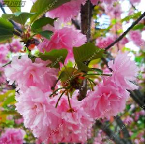 20Pcs-Sakura-Fuchsia-Double-Petals-Tree-Seeds-Rare-Pereninal-Beautiful-Garden