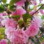 20Pcs-Sakura-Fuchsia-Double-Petals-Tree-Seeds-Rare-Pereninal-Beautiful-Garden thumbnail 1