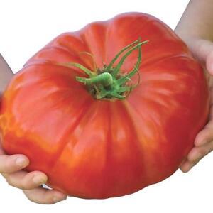 Belgium-Monster-Tomato-Seeds-Rare-Fruit-Giant-Plant-Heirloom-100-Seed-ded
