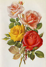"Roses 3 8"" x 11"" by Paul Jones"
