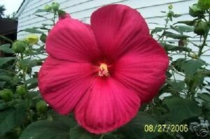 25 Hot Pink Hibiscus Moscheutos Vintage Grenache Bush Flower Seeds