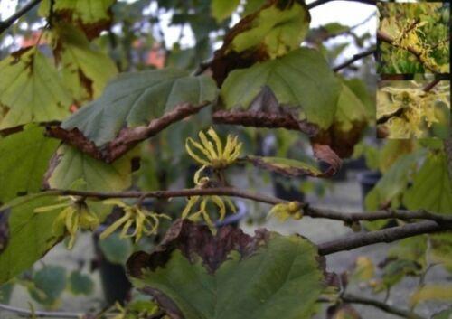 Virginischer Zaube Herbstblühende Zaubernuss virginiana Hamamelis virginiana