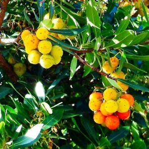 2mal-Westliche-Erdbeerbaeumchen-25-30-cm-Erdbeerbaum-Arbutus-unedo-frosthart-ww