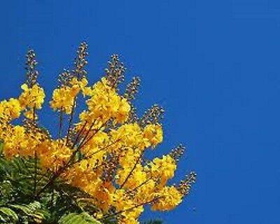 YELLOW POINCIANA, 20+ FRESH SEEDS, BEAUTIFUL FLOWERING SHADY TREE, VERY HARDY