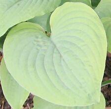 10 Samen Herzblattlilie / Funkie (Hosta) Mischung von Hybriden, Schatten, mehrj.