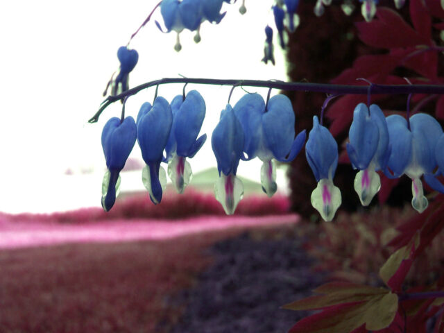 Bleeding Heart Seeds - SAPPHIRE BLUE - RARE - Hardy Shade Perennial - 20 Seeds