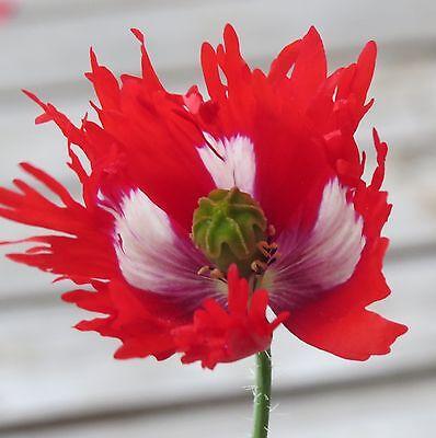 Feathery Clown Poppy Seeds