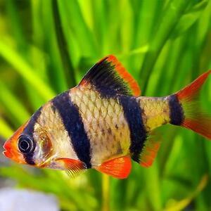 Live tropical aquarium fish for sale tiger barbs for Live tropical fish for sale