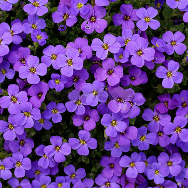 220pcs Romantic Cascade Purple Aubrieta Flower Seeds