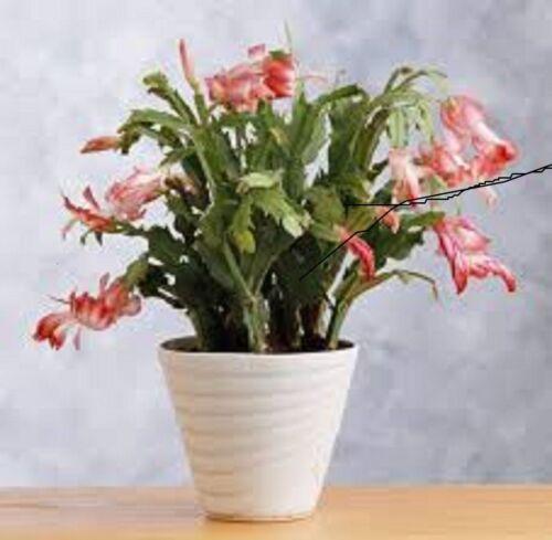 POTTING SOIL FOR EASTER//X-MAS CACTUS//PLANTS ORGANIC 12 Qt  PsNature