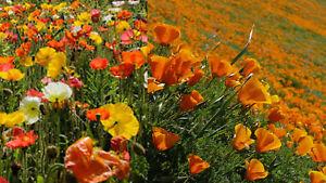 1000-Samen-2-Eschscholzia-californica-Farben-Mix-Kalifornischer-Mohn-Goldmohn