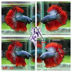 [137_A3]Live Betta Fish High Quality Male Fancy Over Halfmoon 📸Video Included📸