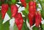 Bengal-Naga-Chilli-An-Extreme-Hot-Woody-Smoky-amp-Tart-Flavoured-Classic-Chilli
