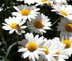DAISY-OX-EYE-OXEYE-Leucanthemum-Vulgare-500-Seeds