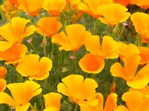 California-Poppy-Seeds